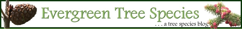 Evergreen Tree Species