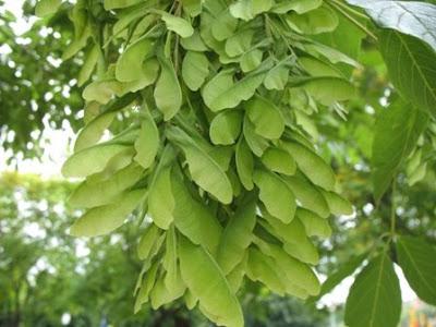 The Worlds Tree Species Boxelder Maple Acer Negundo