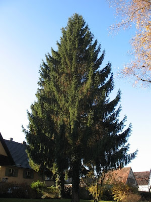 The Worlds Tree Species Norway Spruce Picea Abies