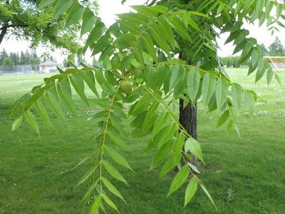 The World´s Tree Species: Eastern Black Walnut - Juglans nigra