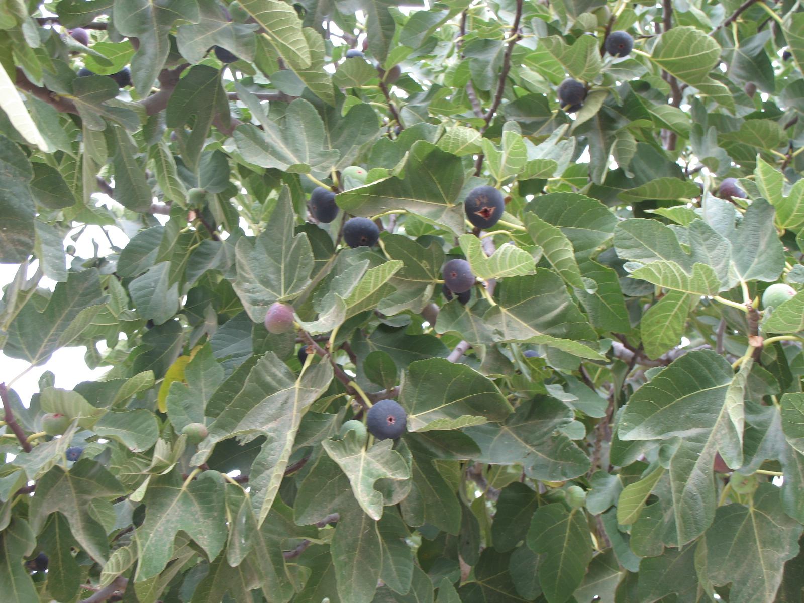 Fig Tree Biblical Garden Gardening Flower And Vegetables
