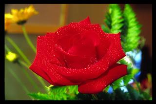 Rosa Sant Jord