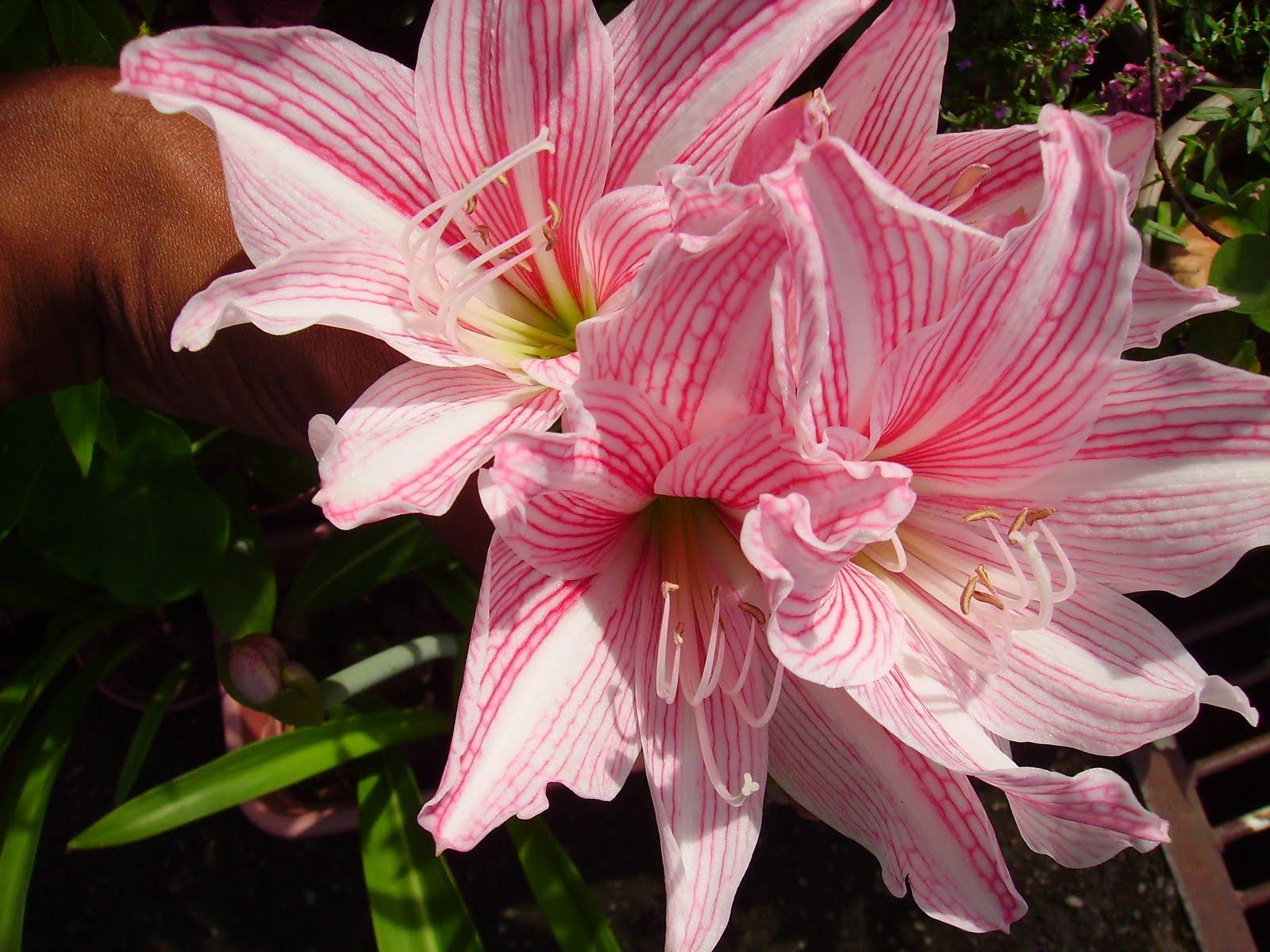Garden Chronicles: Amaryllis Bloom