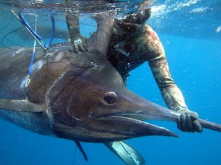 In The Zone Spearfishing Video Productions: Mozambique TV