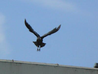 The Flycatcher: September 2008  The Flycatcher:...