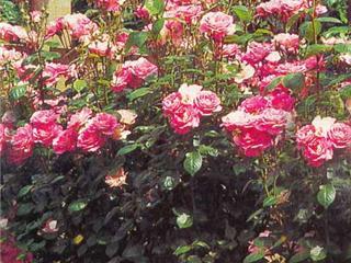 [buket+rose.jpg]