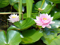 Lotus Pond in Ithaca