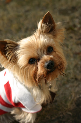 here is a pic of a cute yorkie with a short cut it looks like it has
