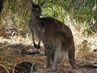 055c7ed00e6 I Yancheps nationalpark norr om Perth träffade vi dessa vilda  representanter för Australien.
