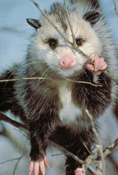 Wild Birds Unlimited: What do Opossums eat?