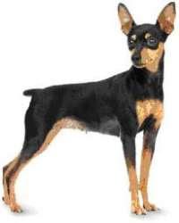 Fotos cachorro pinscher numero 3