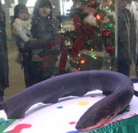electric eel, christmas tree