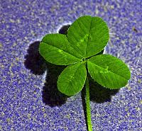 clover, lucky clover, four-leaf clover