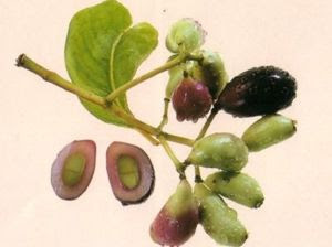 The Nature Can Heal: Jambul or Jamun ( Jamblang ) can ...