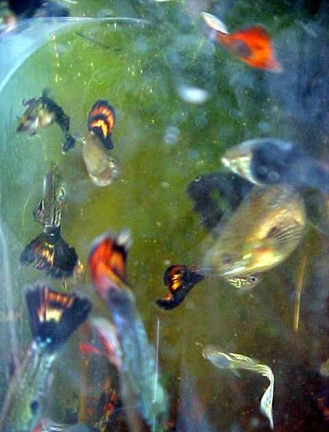 Galer a de peces ornamentales criadero de guppys for Peces ornamentales
