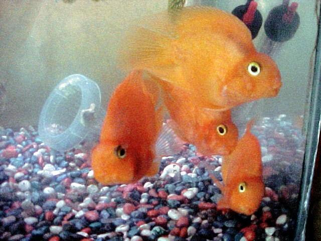 Galer a de peces ornamentales pericos o loras for Criadero de peces ornamentales