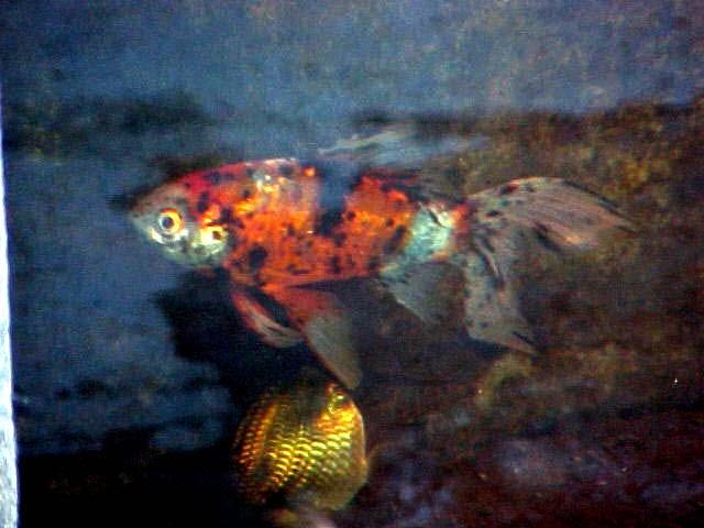 Galer a de peces ornamentales cometa shubunkin for Criadero de peces ornamentales