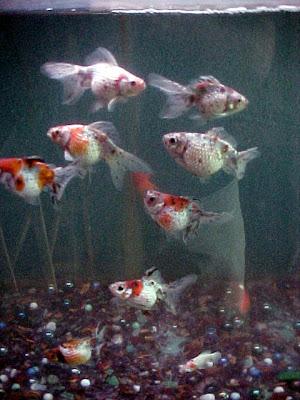 Galer a de peces ornamentales escama perlas for Manual de peces ornamentales