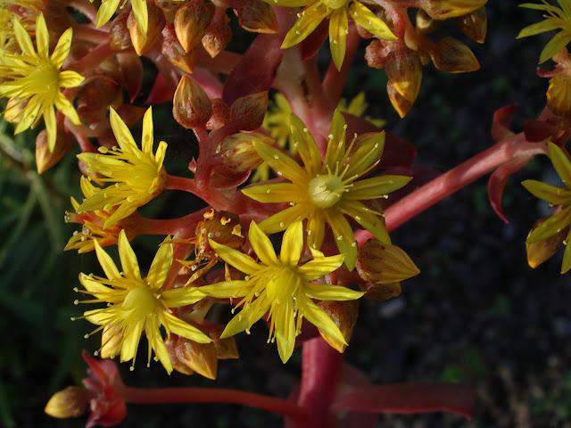 Aeonium gorgoneum 03