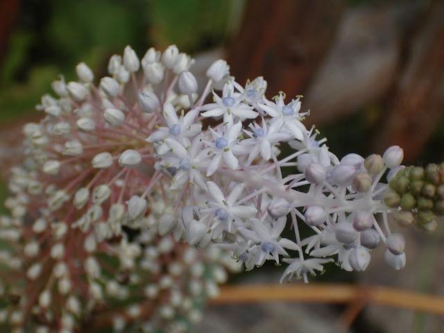 Scilla cf. latifolia 02