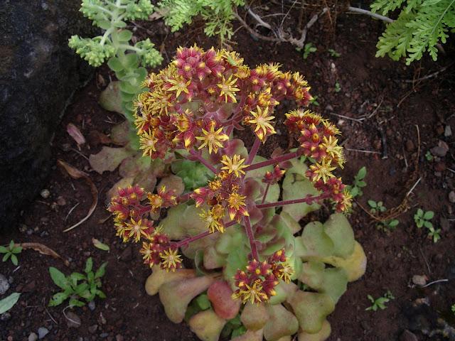 Aeonium canariense subsp. latifolium≡ Aeonium subplanum JBVC 03