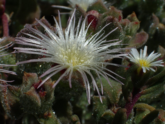 Mesembryanthemum crystallinum - Escarcha, barrilla