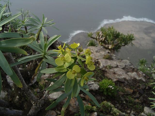 Euphorbia regis-jubae en Andén Verde (Gran Canaria)