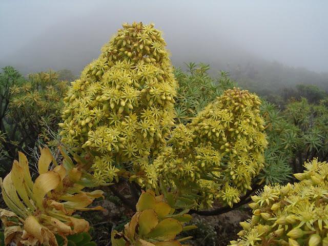 Aeonium arboreum subsp. arboreum x percarneum 02