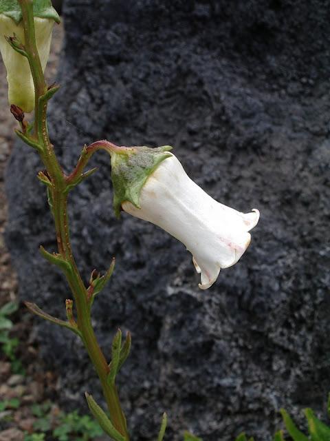 Azorina vidalii