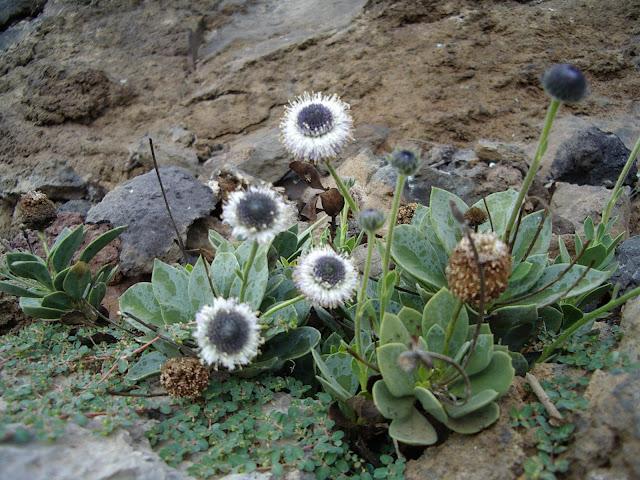 Globularia sarcophylla