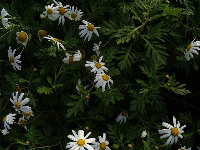 Argyranthemum webbii