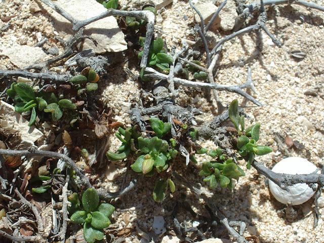 Helianthemum thymiphyllum