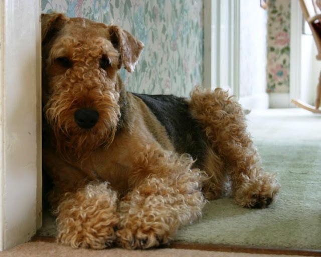 Extreme Dog Breeds: Airedale Terrier