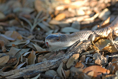 Window on a Texas Wildscape: Texas rat snake