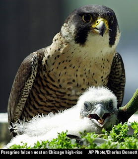 peregrine falcon and chick