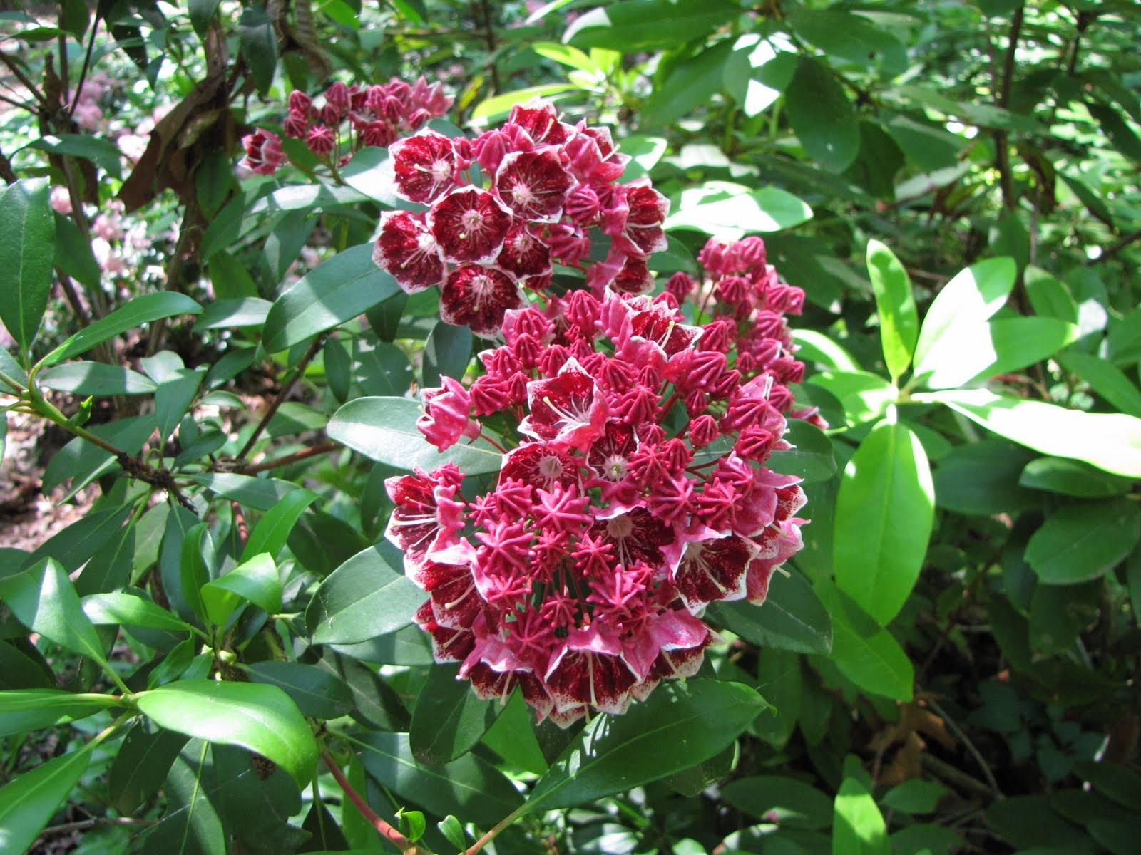 Sue S Escape From Cancerland Peonies And Mountain Laurel