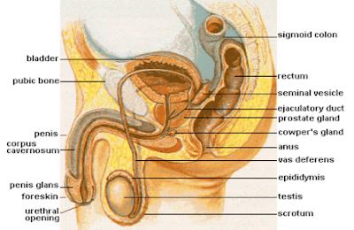 Organ Reproduksi Pada Pria