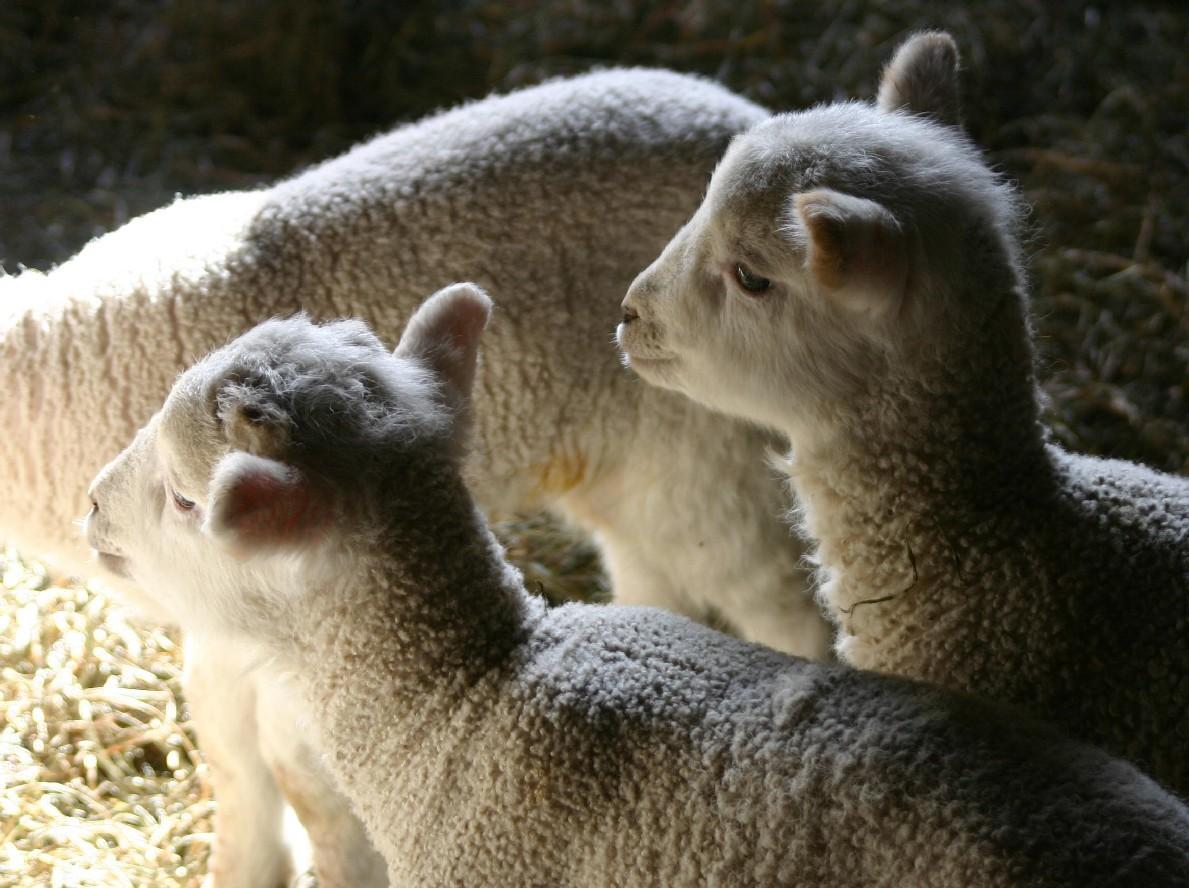 [Lambs_HistoricHudsonValley]