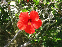 Hibiscus, the state flower of Hawaii