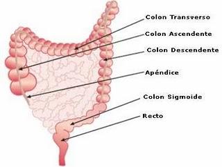 Cual es la funcion del intestino grueso en el aparato digestivo