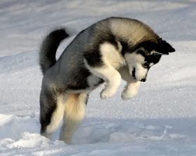 Siberian Husky: TEMPERAMENT