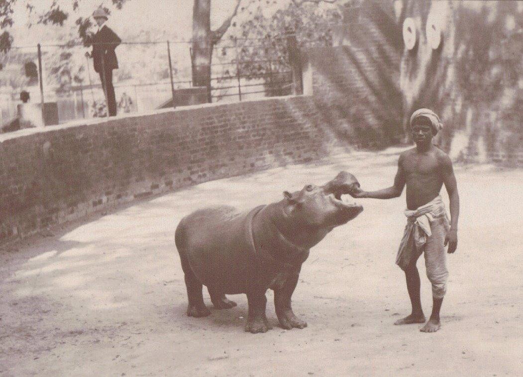 Feeding the Baby Hippo, Calcutta Zoo, Calcutta c.1903