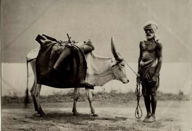 A Water Bullock - India 1880s