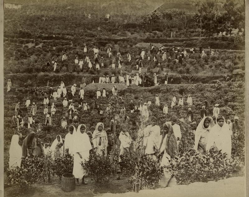 Working in a Tea Garden - Ceylon (Sri Lanka) - 1890's