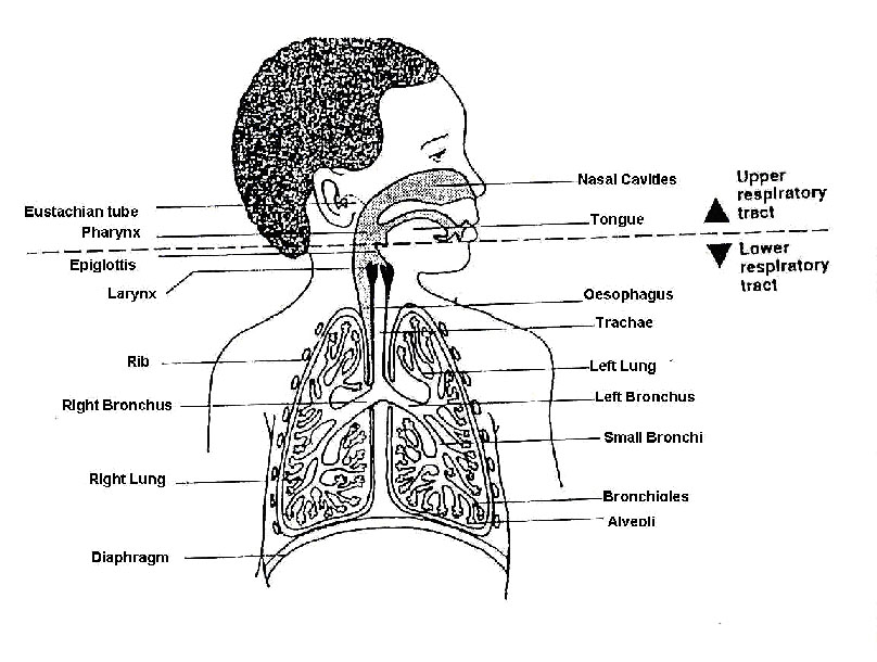 Upper Disorders Respiratory Crossword Tract