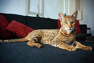 \u0026quot;Son el resultado de cruzar los genes de dos gatos de mucho pedigrí el serval africano y el gato leopardo asiático, con una raza de gato casero que