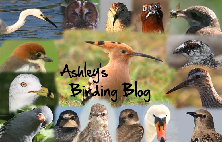 Ashley's Birding Blog