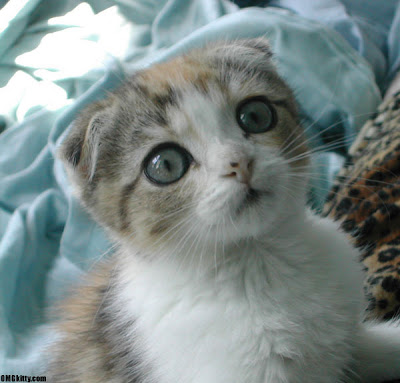 Scottish Fold Cats - Cat Breeds | All About Cats and Kittens