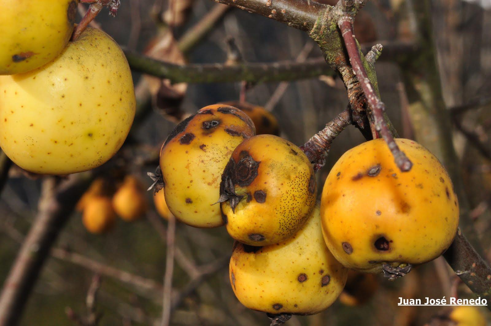 CANTABRIA, FOTOGRAFIA VIVA: Manzanas Silvestres