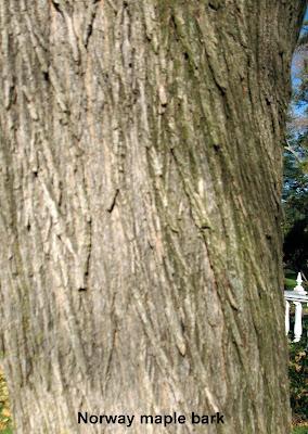 Plainfield Trees Norway Maple - Norway maple bark